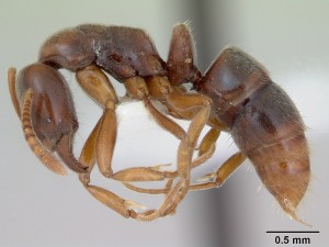 Argentine ant April Nobile