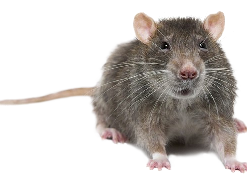 img-rodent